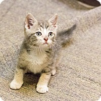 Adopt A Pet :: Storm - Chicago, IL