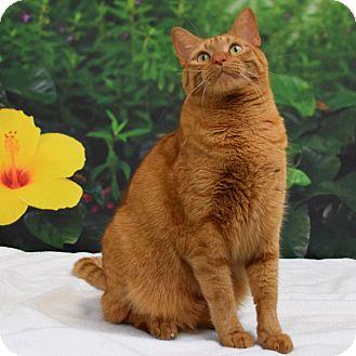 Domestic Shorthair Cat for adoption in Houston, Texas - Ferrous