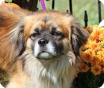 Spaniel (Unknown Type)/Tibetan Spaniel Mix Dog for adoption in Marietta, Ohio - Buddah (Neutered)