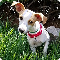 Adopt A Pet :: Hardy - Los Angeles, CA