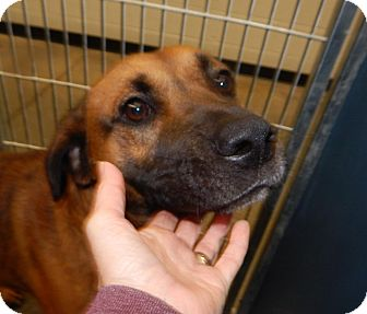 Labrador Retriever Mix Dog for adoption in Henderson, North Carolina - Mitch