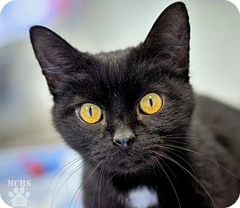 Domestic Shorthair Cat for adoption in Martinsville, Indiana - Church Hill