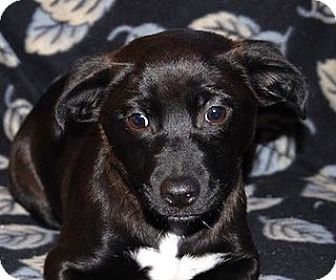 Border Collie/Corgi Mix Dog for adoption in Portola, California - Joy