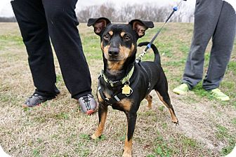 Miniature Pinscher/Chihuahua Mix Dog for adoption in Dallas, Texas - Dublin