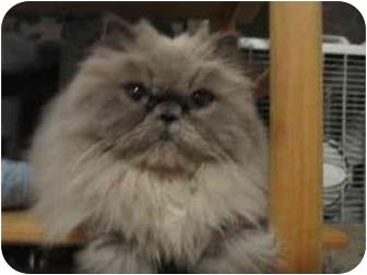 Persian Cat for adoption in Los Angeles, California - Fifi DuBois