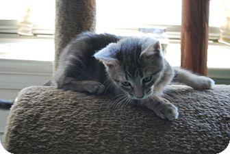 Domestic Shorthair Kitten for adoption in Jenkintown, Pennsylvania - KoKo