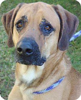 Rhodesian Ridgeback Mix Dog for adoption in Red Bluff, California - Timmy