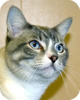 Siamese Cat for adoption in Atlanta, Georgia - Scooby
