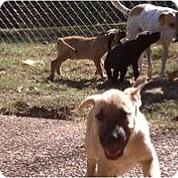 Adopt A Pet :: Beau - Allentown, PA