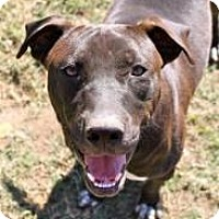 Pit Bull Terrier Dog for adoption in Memphis, Tennessee - Christian