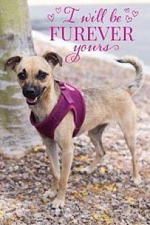 Chihuahua Mix Puppy for adoption in Mesa, Arizona - Nakita