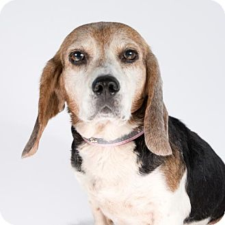 Beagle Dog for adoption in St. Louis Park, Minnesota - Toodles (Adoption Pending as of 3/30)