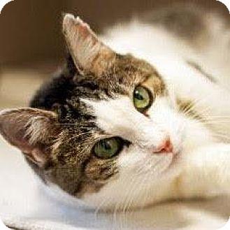 Domestic Shorthair Cat for adoption in Denver, Colorado - Missy