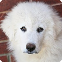 Great Pyrenees Puppy for adoption in Garland, Texas - Larry
