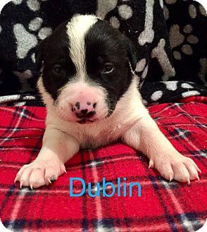 Australian Cattle Dog/American Bulldog Mix Puppy for adoption in Moyock, North Carolina - Dublin