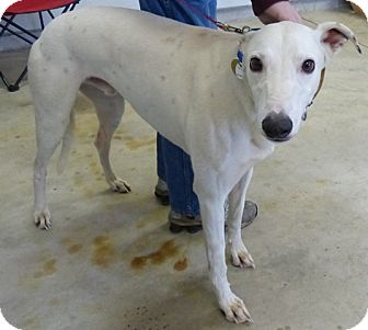 Greyhound Dog for adoption in Fremont, Ohio - Squealer
