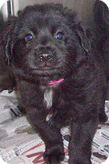 Border Collie/Retriever (Unknown Type) Mix Puppy for adoption in CHAMPAIGN, Illinois - RICKY