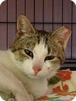 Domestic Shorthair Cat for adoption in Monroe, Georgia - Aurora