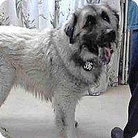 Adopt A Pet :: Chewbaca - Missouri City, TX