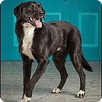 Adopt A Pet :: Bentley - Owensboro, KY