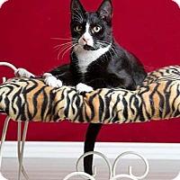 Adopt A Pet :: Pinto - Merrifield, VA