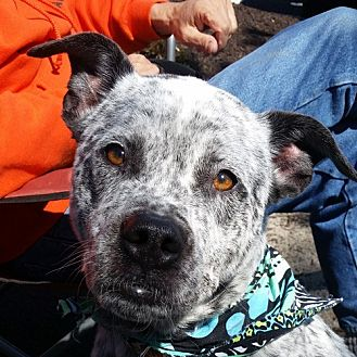 Cattle Dog/American Bulldog Mix Dog for adoption in Fairfax, Virginia - Roscoe (cattle dog mix) *Adopt or Foster*
