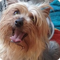Yorkie, Yorkshire Terrier Dog for adoption in San Fernando Valley, California - India Ari