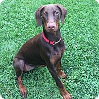 Adopt A Pet :: Ellie - Arlington, VA