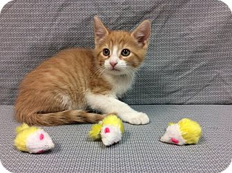 Domestic Shorthair Kitten for adoption in Moody, Alabama - Shock