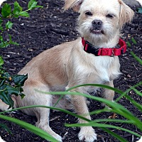 Adopt A Pet :: Wally-Adoption pending - Bridgeton, MO