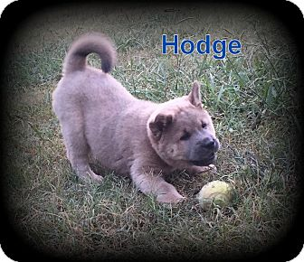 Chow Chow/German Shepherd Dog Mix Puppy for adoption in Denver, North Carolina - Hodge