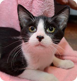 Domestic Shorthair Kitten for adoption in New York, New York - Drew