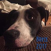 Adopt A Pet :: Bryce - Whitestone, NY
