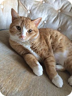 Domestic Shorthair Cat for adoption in Potomac, Maryland - Bonnie