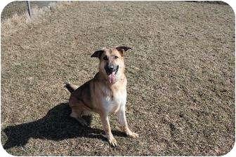 German Shepherd Dog Dog for adoption in Tully, New York - SIDNEY