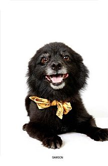 Pomeranian Dog for adoption in New York, New York - Samson