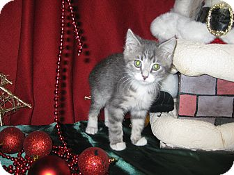 Domestic Shorthair Kitten for adoption in Clearfield, Utah - Element