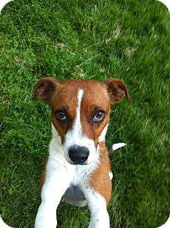 Beagle/Jack Russell Terrier Mix Dog for adoption in Jersey City, New Jersey - Lucinda Williams