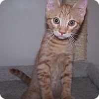 Adopt A Pet :: K-Athena2-Romulus - Colorado Springs, CO