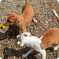 Adopt A Pet :: Jaeger-chestnut and white - Marshfield, MA