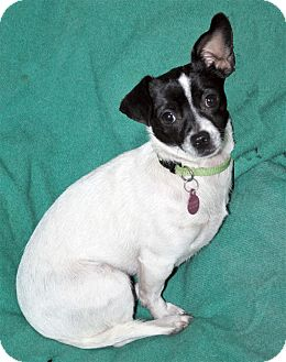 Rat Terrier/Toy Fox Terrier Mix Dog for adoption in San Francisco, California - Mindy