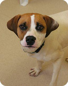 Hound (Unknown Type)/Treeing Walker Coonhound Mix Dog for adoption in Staunton, Virginia - Jack
