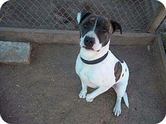 Pit Bull Terrier Mix Dog for adoption in Springtown, Texas - Milan
