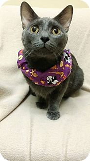 Domestic Shorthair Cat for adoption in Cannelton, Indiana - Smokey(2)