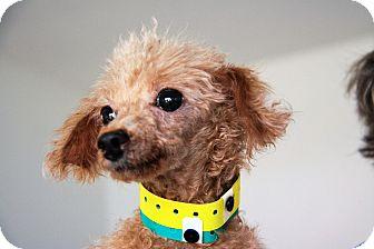 Poodle (Toy or Tea Cup) Dog for adoption in Shallotte, North Carolina - Charlene