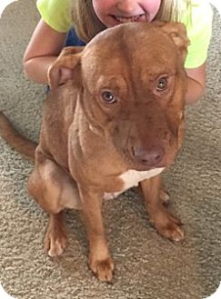 Chesapeake Bay Retriever/Labrador Retriever Mix Dog for adoption in Fort Collins, Colorado - Scarlett