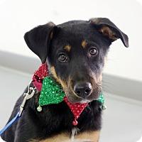 Adopt A Pet :: Ace - Columbia, IL