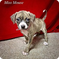 Adopt A Pet :: Miss Mouse - Chester, IL