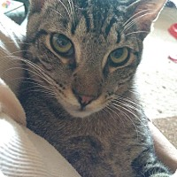 Domestic Shorthair Cat for adoption in Houston, Texas - Silver
