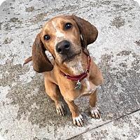 Adopt A Pet :: Fred - Burlington, VT